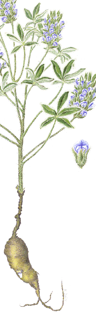 Indian Breadroot illustration in colored pencil by Karla Beatty