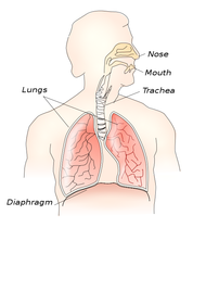 Medical illustration of lungs and the upper digestive organs.