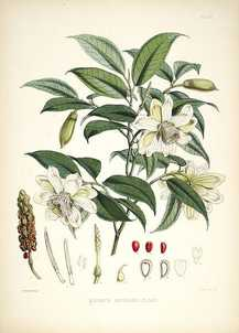 Vintage watercolor painting of a white flowering plant with seeds and pods and buds.
