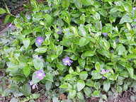 Flowering plant of a vinca ground cover.